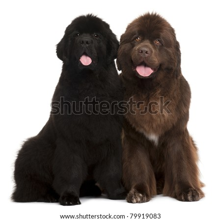 Newfoundland puppies, 5 and 30 months old, sitting in front of white background - stock photo