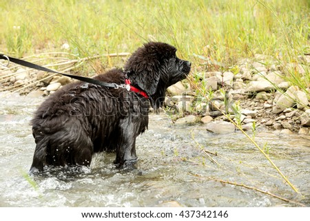 Newfoundland puppy enjoys having fun in the river, shallow depth of field