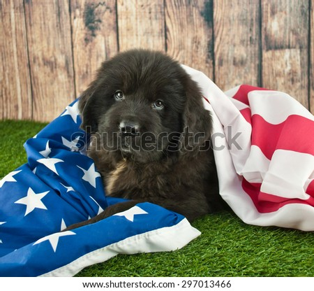 Newfoundland puppy wrapped up in an American flag outdoors.