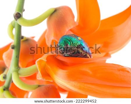 Newguinea Creeper flower and Sternocera aequisignata beetle - stock photo