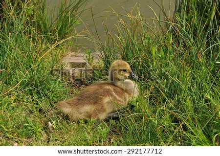 Newly born Canada Goose gosling resting in grass on the shore  by the edge of lake - stock photo