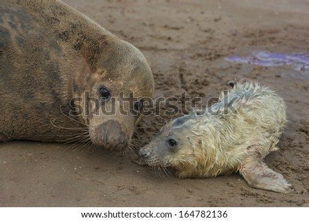 Newly born grey seal pup (Halichoerus grypus) on the beach with it's mother in the background, Donna Nook, UK - stock photo