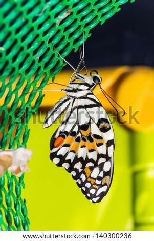 Newly born lime butterfly (Papilio demoleus malayanus) clinging on green plastic net - stock photo