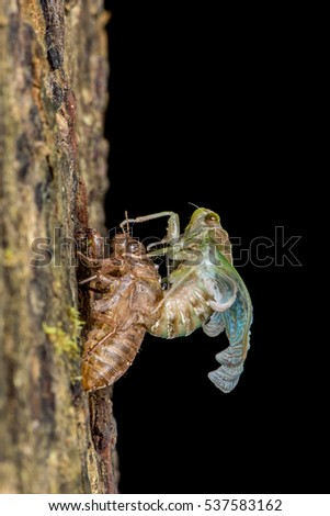 Newly emerge cicada at night with beautiful coloration brownish, greeny, yellowish, pinky and blueish