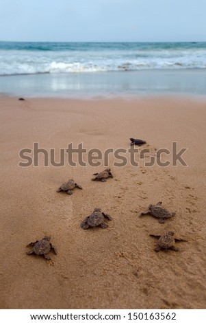 Newly hatched baby Loggerhead  turtle toward the ocean  - stock photo