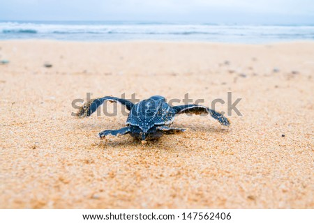 Newly hatched baby turtles in a hurry in the watery element. Shallow depth of field - stock photo