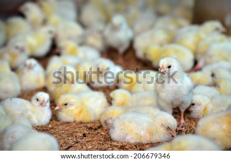 Newly hatched chicks on a chicken farm, selective focus.