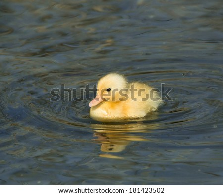 Newly-hatched yellow duckling swimming, with reflection - stock photo