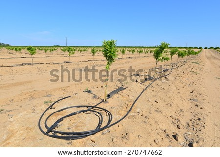 Newly planted almond trees on a San Joaquin Valley farm are watered with a drip irrigation system in a time of drought in California. - stock photo
