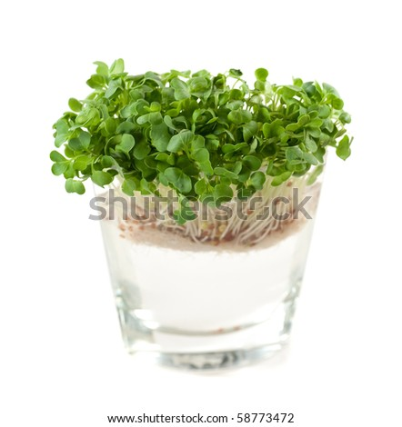 newly sprouted radish seeds - stock photo