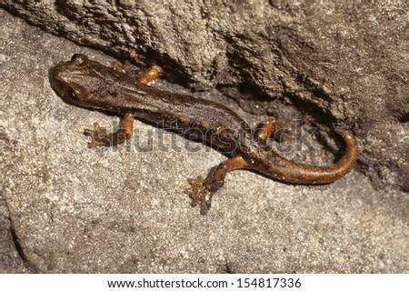 newt amphibian - stock photo