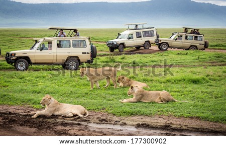 NGORONGORO TANZANIA - January 2: Tourists  in Cars watching a group of lionesses during a typical day of a safari on January 2, 2014 in Ngorongoro crater Tamzania - stock photo
