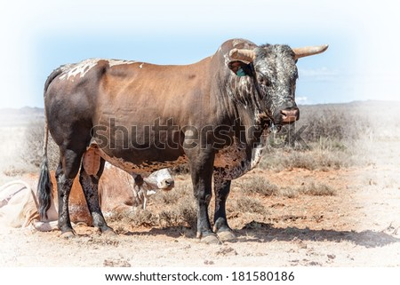 nguni bull a traditional breed of cattle for the african and southern african stock farmers, a stud animal - stock photo