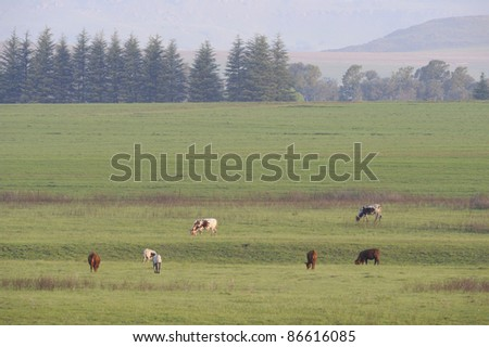 Nguni cattle on spring pasture - stock photo