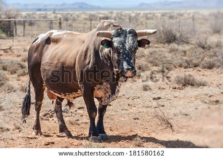 nguni cows a traditional breed of cattle for the african and southern african stock farmers, stud bull - stock photo