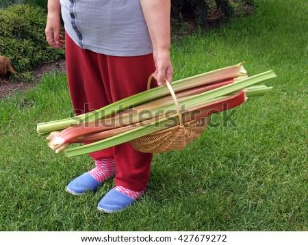 NICA, LATVIA - MAY 26, 2016: Woman gardener outdoor is holding basket with big rhubarb stalks.        - stock photo