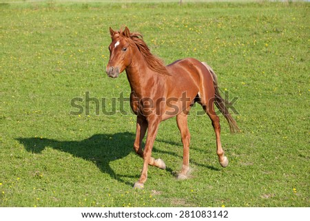 Nice arabian horse running on pasture - stock photo