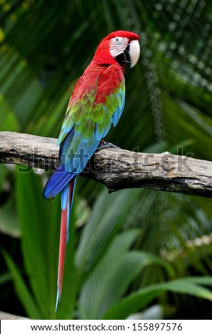Nice back profile of Green-winged Macaw perching on the branch