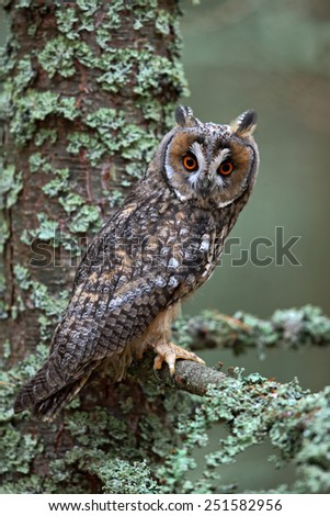 Nice bird Long-eared Owl sitting on the branch in the fallen larch forest during autumn    - stock photo