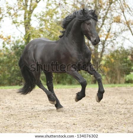 Nice black friesian stallion running on sand in autumn - stock photo