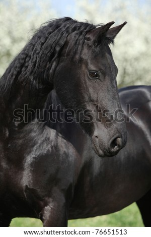 Nice black horse looking in front of flowering plum trees - stock photo