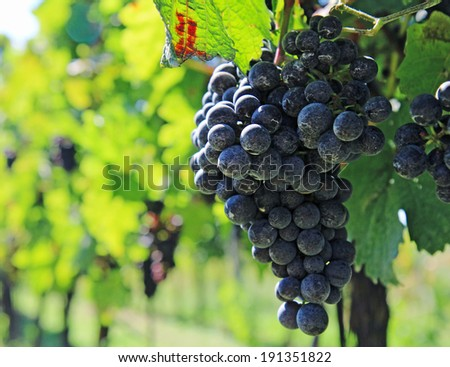 nice blue grapes of vine on vineyard field - stock photo