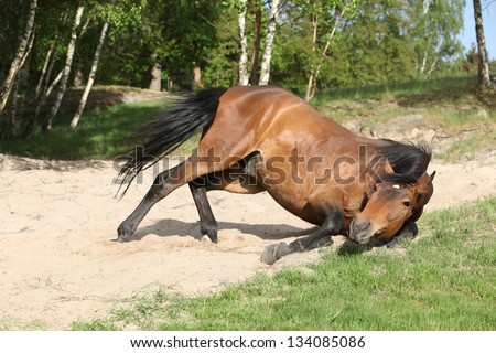 Nice brown horse rolling in the sand in hot summer