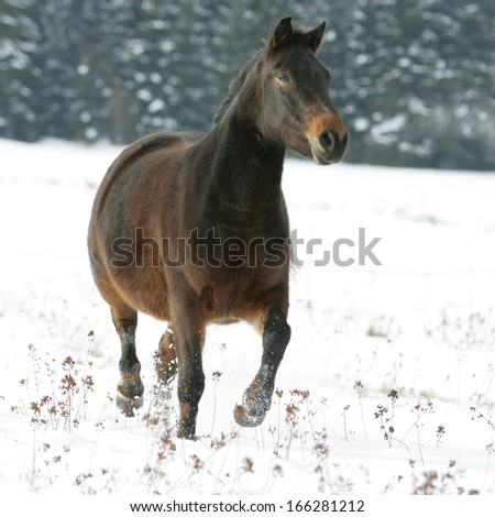 Nice brown horse running on snowy pasturage in winter