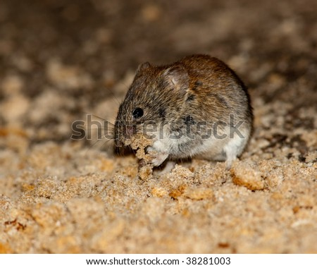 Nice brown mouse on the earth. A wildlife photo.