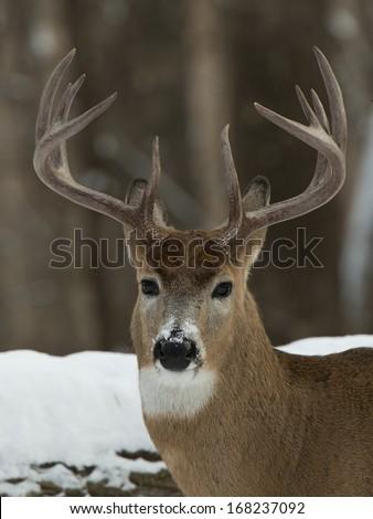 Nice Buck - stock photo