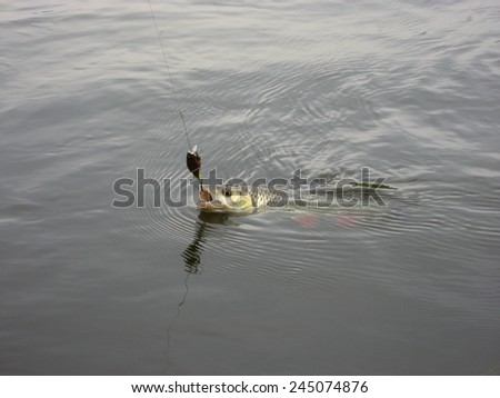 Nice catch fish caught using fishing rod and artificial lure - stock photo