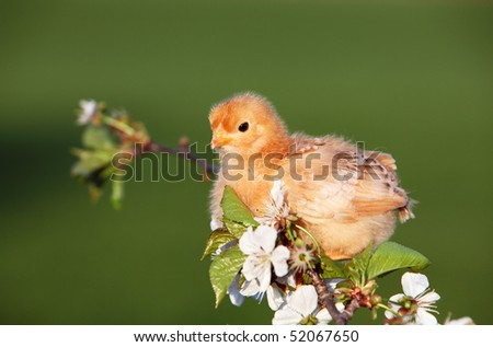 Nice chicken with white flowers