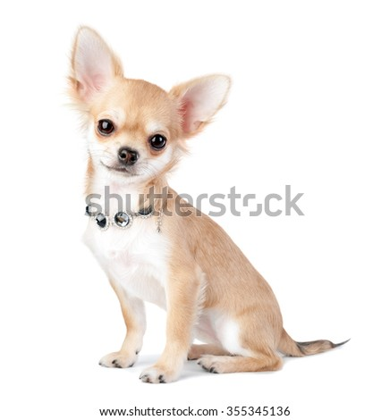 nice chihuahua puppy with jewelry  necklace isolated on white background  - stock photo