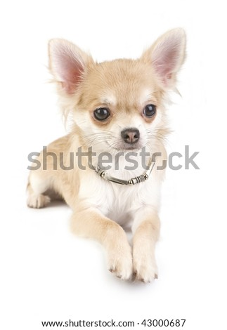 nice chihuahua puppy with necklace portrait - stock photo