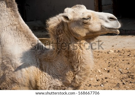 Nice close up photo of big camel
