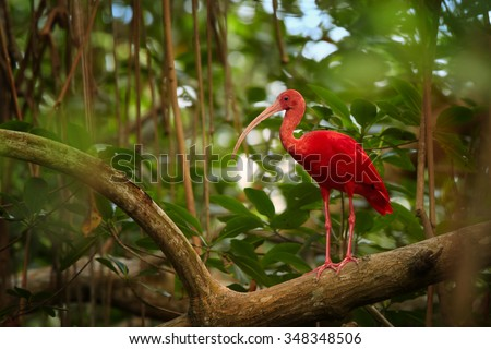 Nice close up photo of unique and shy Scarlet Ibis Eudocimus ruber in its typical natural environment in mangrove forest of Trinidad. Blurred green forest as background. Caroni swamp, Trinidad. - stock photo