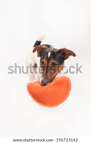 Nice, cute dog Jack Russell terrier playing with frisbee isolated on white background - stock photo