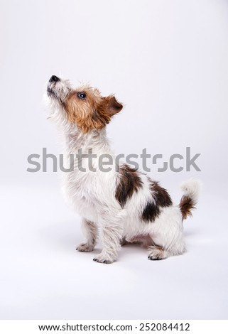 nice, cute dog Jack Russell terrier with pleasure looks at the camera and smiling. Chuckle. trick. emotional animal - stock photo