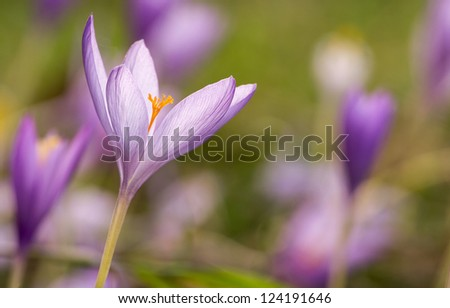 Nice dewy flower in the autumn (Colchicum autumnale) - stock photo
