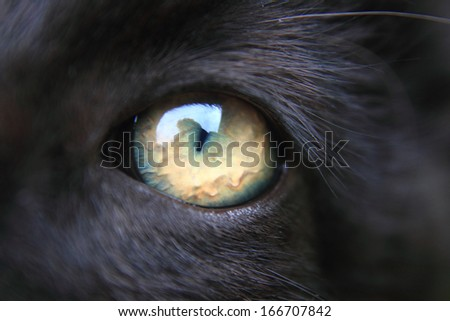 nice eye of black cat
