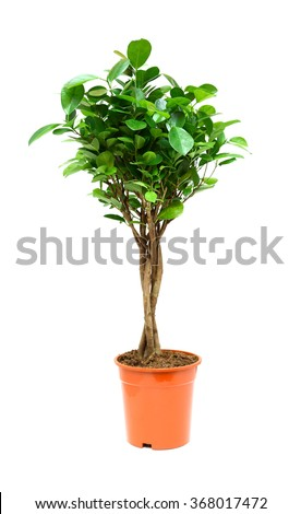 Nice ficus in flower pot on white background - stock photo