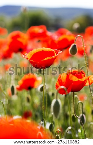 Nice field of red poppy flowers. Crimea, summer time - stock photo