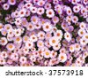 nice flower background - a lot of purple flowers - stock photo