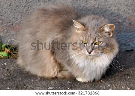nice fluffy gray cat - stock photo