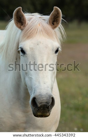Nice free white horse in the pastures of Extremadura in Spain - stock photo