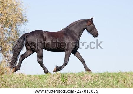Nice friesian horse running on meadow - stock photo