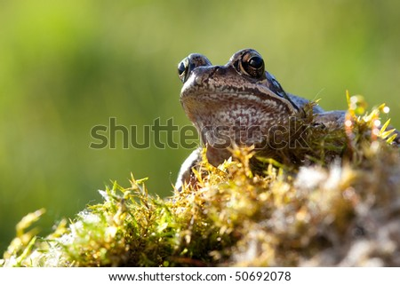 Nice frog sitting in moss and watching us - stock photo