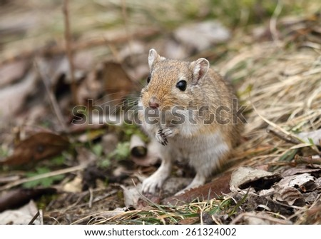 Nice gerbil - stock photo
