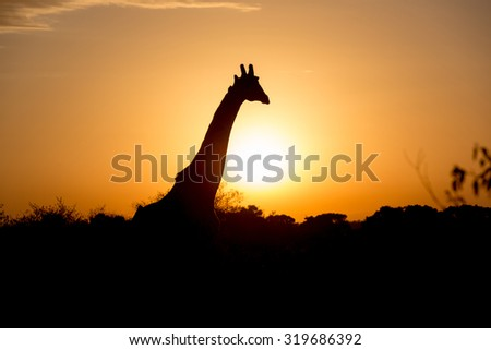 Nice giraffe during the early hours in Kenya, �frica