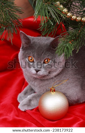 Nice gray British one year old cat on Merry Christmas and Happy New Year/Cute British cat on Holiday theme - stock photo